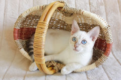 Милый котенок Бенгалии снега Стоковые Фотографии RF