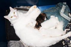 Милый котенок всасывает молоко от груди матери Стоковое фото RF