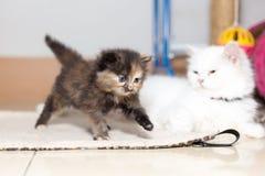 Милый котенок персидского кота Стоковые Изображения RF