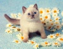милый котенок сиамский стоковое изображение rf