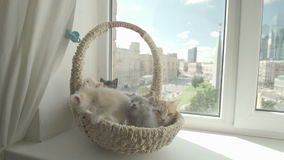 Милый котенок с котом матери сток-видео