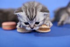 Милый котенок с macarons Стоковая Фотография