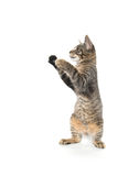 Милый котенок tabby на задних ногах Стоковое Изображение