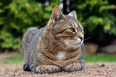 Милый кот лежит и смотрит на саде Стоковые Изображения