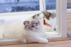 Милый кот Munchkin персиянки, в белом и сером цвете, играя игрушку Стоковые Изображения RF
