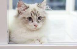 Милый кот Munchkin персиянки в белых и серых цвете и голубых глазах Стоковые Фото
