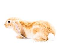милый красный цвет кролика Стоковая Фотография