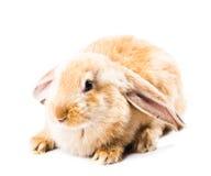 милый красный цвет кролика Стоковые Изображения RF