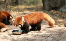 милый красный цвет панды Стоковая Фотография RF