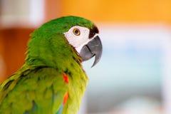 Милый красочный портрет конца-вверх попугая стоковая фотография rf
