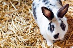Милый кролик зайчика на сене Стоковые Изображения RF