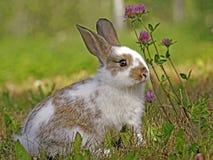 Милый кролик зайчика Стоковая Фотография