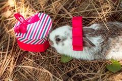 Милый кролик обнюхивает подарочную коробку Стоковое фото RF
