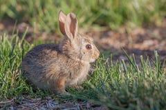 Милый кролик Cottontail младенца Стоковые Фотографии RF