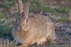 Милый кролик Cottontail Стоковая Фотография