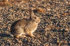 Милый кролик Cottontail Стоковые Изображения