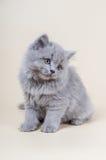 Милый маленький котенок сидит на серой предпосылке стоковое изображение