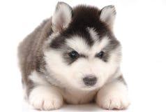 Милый маленький осиплый щенок Стоковое Изображение RF