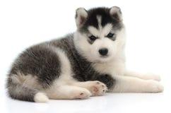 Милый маленький осиплый щенок Стоковая Фотография RF