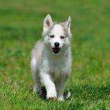 Милый маленький осиплый щенок стоковое фото