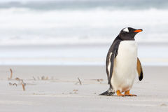 Милый маленький пингвин Gentoo отдыхая на пляже Стоковые Фотографии RF