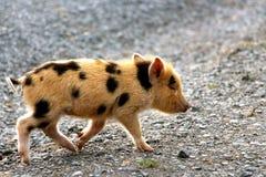 Милый маленький поросенок младенца делая бег для его Стоковые Изображения