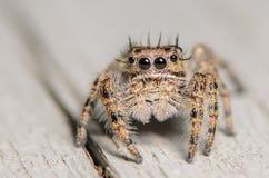 Милый маленький скача паук Стоковые Изображения