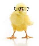 Милый маленький цыпленок в стеклах стоковое фото rf