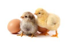 Милый маленький цыпленок 2 с яичком на белой предпосылке стоковая фотография rf