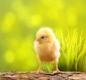 Милый маленький цыпленок стоковые изображения rf
