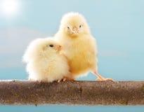 Милый маленький цыпленок стоковая фотография