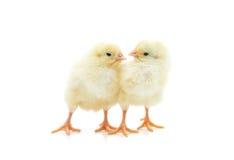 Милый маленький цыпленок 2 Стоковые Фото