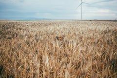 Милый маленький щенок в поле пшеницы Стоковые Изображения