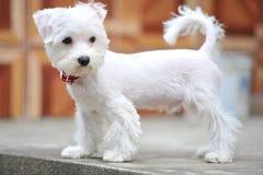 Милый маленький щенок и белизна Стоковые Изображения