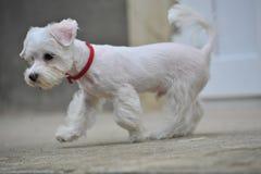 Милый маленький щенок которое бежит Стоковые Изображения