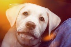 Милый маленький щенок собаки retriever labrador смотрит очень сладостным Стоковая Фотография