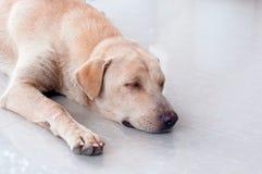 милый маленький щенок спать на земле пола Маленькая собака Стоковые Фотографии RF