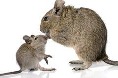 Милый малый любимчик degu грызуна младенца со своей мамой Стоковое фото RF