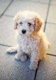 Милый меньший щенок пуделя игрушки сидя на вымощать Стоковое Изображение RF