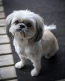 Милый, меньший щенок Shih Tzu смотрит вверх в камеру Стоковая Фотография