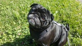 Милый мопс в траве Стоковая Фотография