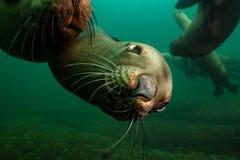 Милый морсой лев подводный стоковые фотографии rf