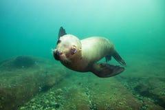Милый морсой лев подводный стоковая фотография rf