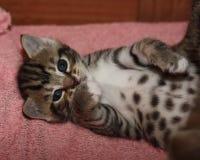 Милый молодой котенок tabby представляя для камеры Стоковые Фотографии RF
