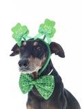Милый немецкий Pinscher одел на день ` s St. Patrick стоковые изображения rf