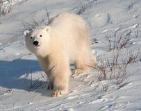 Милый новичок полярного медведя Стоковое Изображение