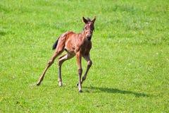 Милый осленок бежать в paddock Стоковые Фотографии RF