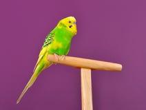 Милый попугай волнистого попугайчика садить на насест на стойке Стоковые Изображения RF