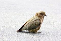 Милый попугай Kea сидя на дороге, Milford Sound Стоковые Изображения RF