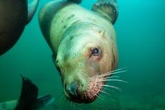 Милый портрет морсого льва подводный стоковая фотография rf